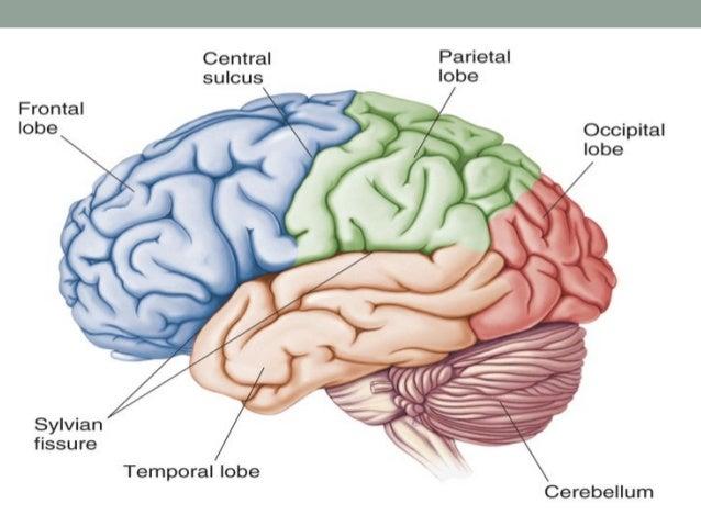 Sulci and Gyri • On the lateral aspect of frontal lobe 3 sulci are visible:  • • • •  precentral sulci, superior frontal s...