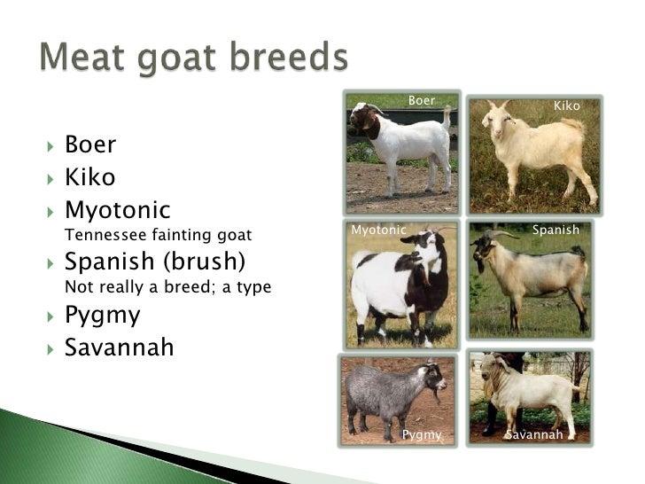 indian boer goat