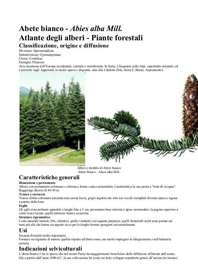 Abete bianco - Abies alba Mill. Atlante degli alberi - Piante forestali Classificazione, origine e diffusione Divisione: S...