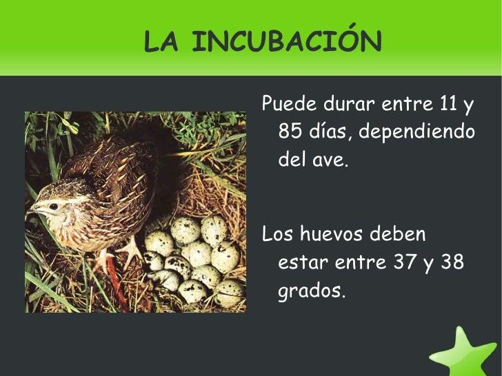 LA INCUBACIÓN <ul><li>Puede durar entre 11 y 85 días, dependiendo del ave. </li></ul><ul><li>Los huevos deben estar entre ...