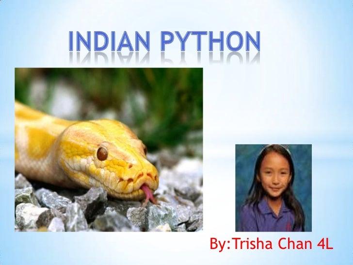 Indian python<br />By:Trisha Chan 4L<br />