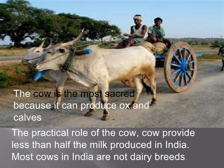 indias sacred cow The cow is considered sacred by many hindus photograph:  on patrol with the  hindu vigilantes who would kill to protect india's cows.