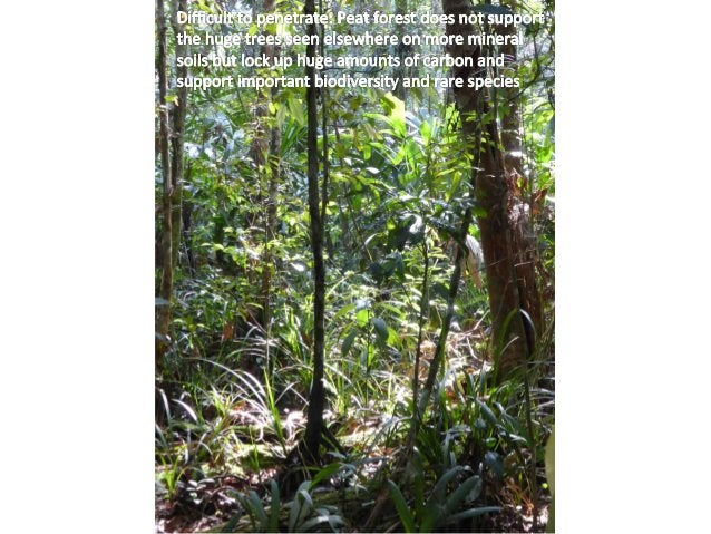 Secondary  forest,  as  here  in  the  background,  protects   carbon  locked  up  in  peat  fro...