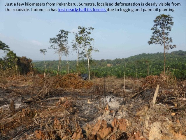 Just  a  few  kilometers  from  Pekanbaru,  Sumatra,  localised  deforesta)on  is  clearly  visible...
