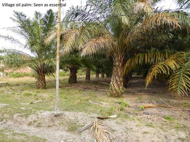 APP  /  Sinar  Mas  seeks  to  improve  acacia  produc)vity  to  more  than  200  tonnes  per...