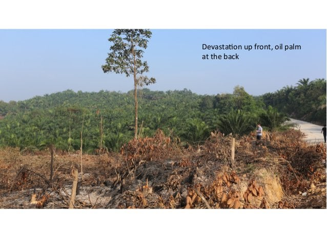 Devasta)on  up  front,  oil  palm     at  the  back