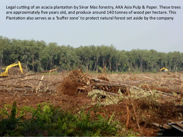 Legal  cuNng  of  an  acacia  planta)on  by  Sinar  Mas  forestry,  AKA  Asia  Pulp  &  Paper....