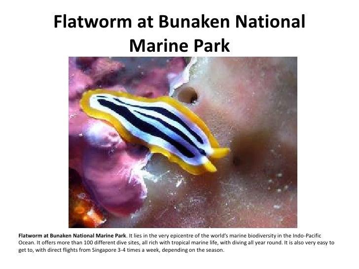 Flatworm at Bunaken National                        Marine Park     Flatworm at Bunaken National Marine Park. It lies in t...