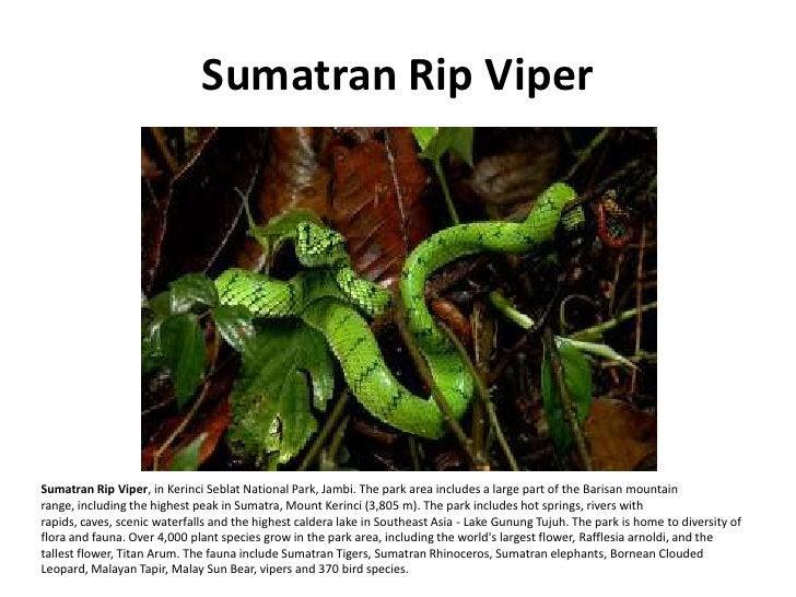 Sumatran Rip Viper     Sumatran Rip Viper, in Kerinci Seblat National Park, Jambi. The park area includes a large part of ...