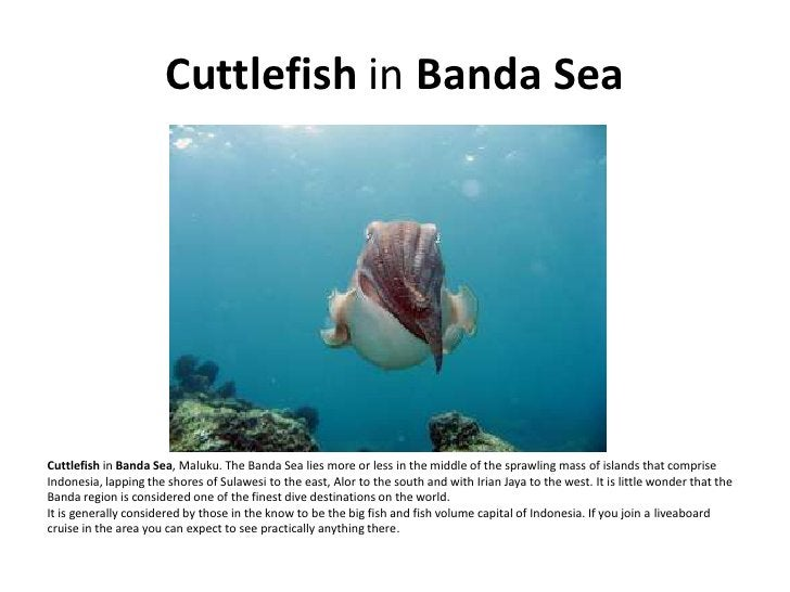 Cuttlefish in Banda Sea     Cuttlefish in Banda Sea, Maluku. The Banda Sea lies more or less in the middle of the sprawlin...
