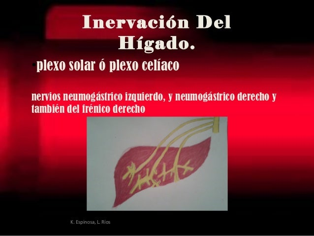 •plexo solar ó plexo celíaco nervios neumogástrico izquierdo, y neumogástrico derechoy también delfrénico derecho Inerva...