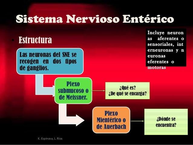 Sistema Nervioso Entérico • Estructura Las neuronas del SNE se recogen en dos tipos deganglios. Plexo submucoso o de Meis...