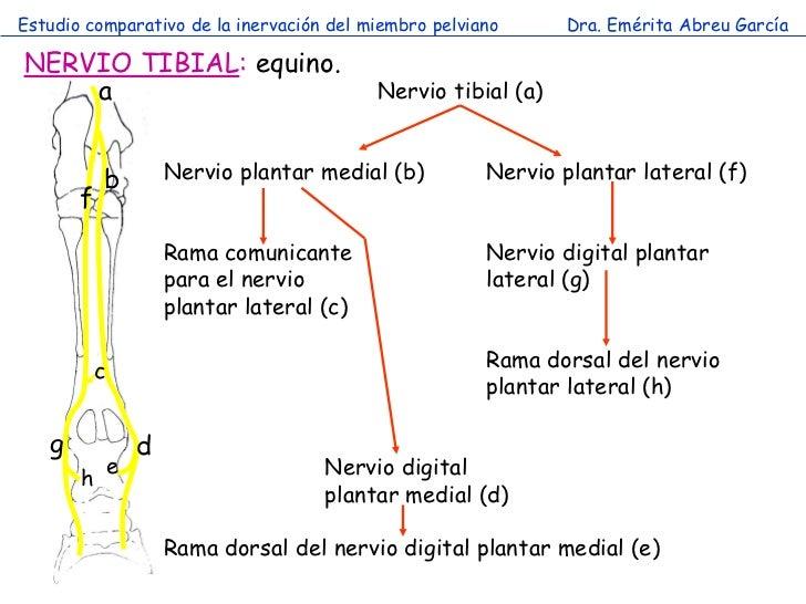 Único Anatomía Nervio Tobillo Bandera - Anatomía de Las Imágenesdel ...