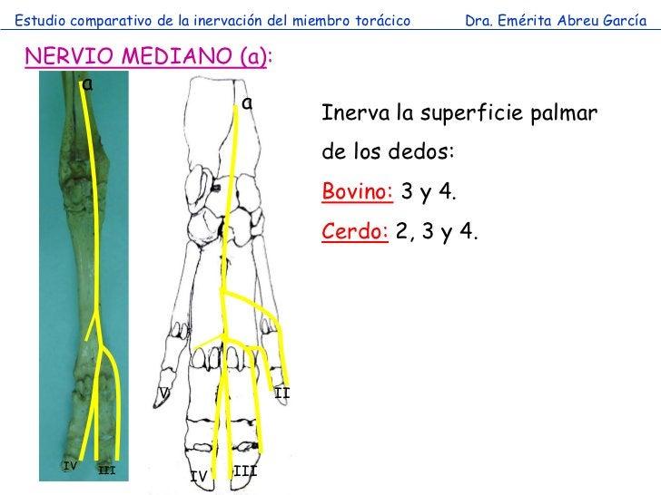 Estudio comparativo de la inervación del miembro torácico    Dra. Emérita Abreu García NERVIO MEDIANO (a):     a          ...