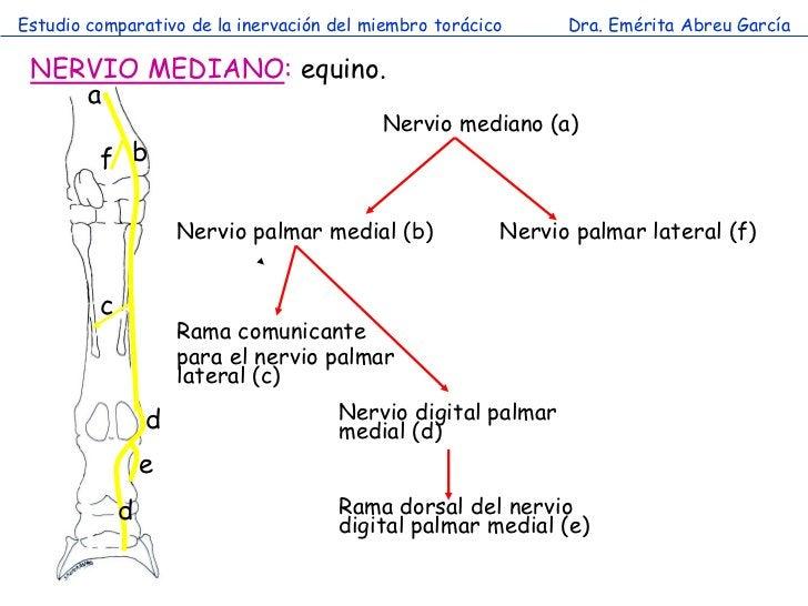 Estudio comparativo de la inervación del miembro torácico     Dra. Emérita Abreu García NERVIO MEDIANO: equino.    a      ...