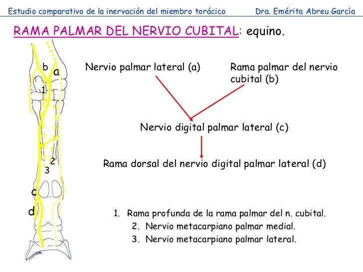 Estudio comparativo de la inervación del miembro torácico        Dra. Emérita Abreu García RAMA PALMAR DEL NERVIO CUBITAL:...