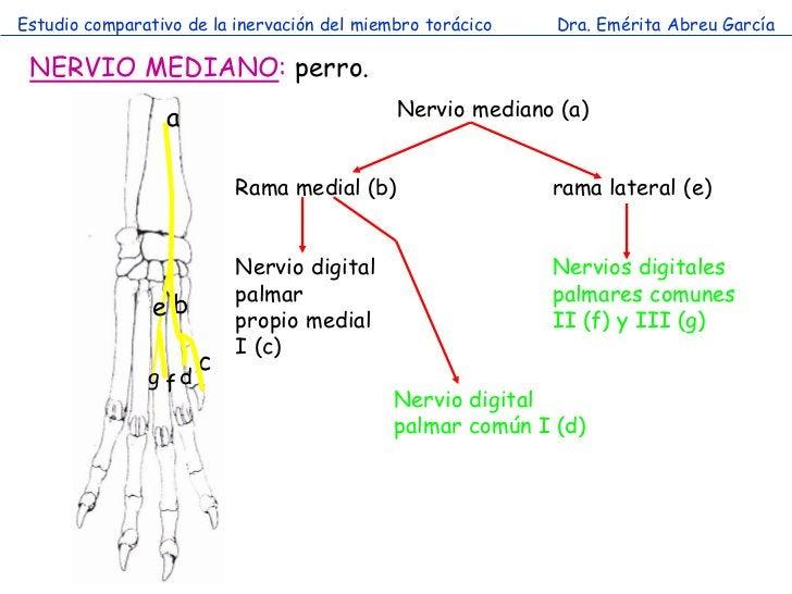 Estudio comparativo de la inervación del miembro torácico   Dra. Emérita Abreu García NERVIO MEDIANO: perro.              ...