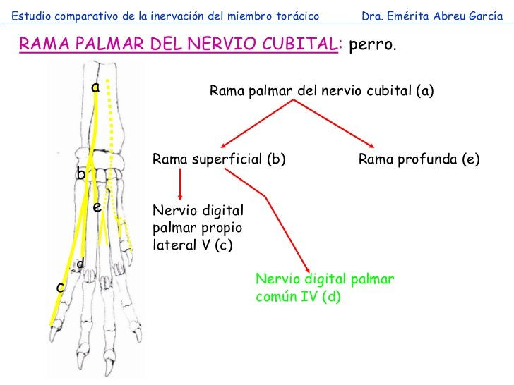 Estudio comparativo de la inervación del miembro torácico   Dra. Emérita Abreu García RAMA PALMAR DEL NERVIO CUBITAL: perr...