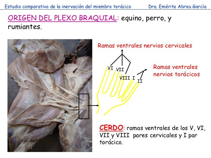 Estudio comparativo de la inervación del miembro torácico        Dra. Emérita Abreu García ORIGEN DEL PLEXO BRAQUIAL: equi...