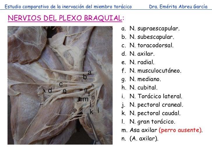 Estudio comparativo de la inervación del miembro torácico       Dra. Emérita Abreu García NERVIOS DEL PLEXO BRAQUIAL:     ...