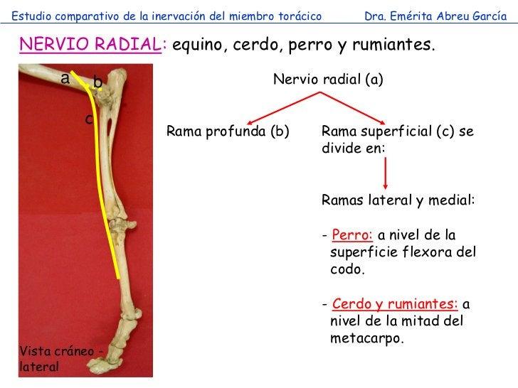 Estudio comparativo de la inervación del miembro torácico     Dra. Emérita Abreu García NERVIO RADIAL: equino, cerdo, perr...