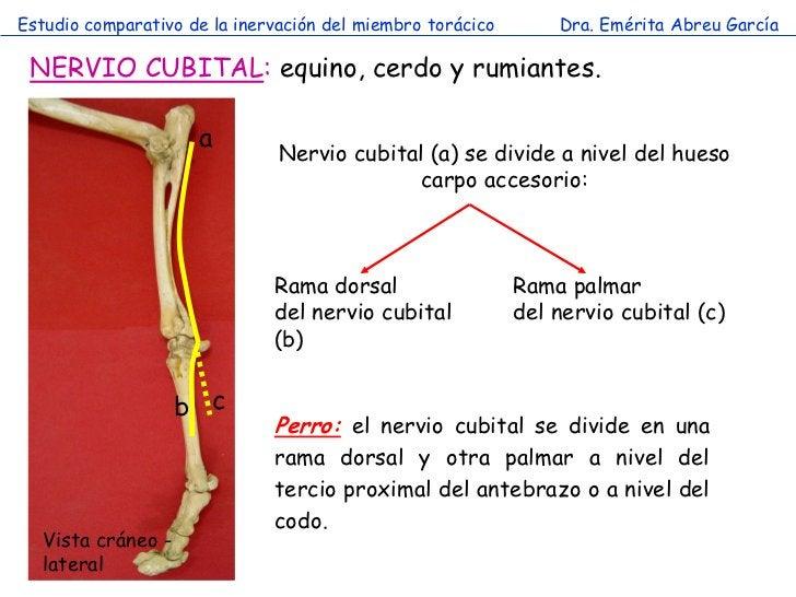 Estudio comparativo de la inervación del miembro torácico       Dra. Emérita Abreu García NERVIO CUBITAL: equino, cerdo y ...