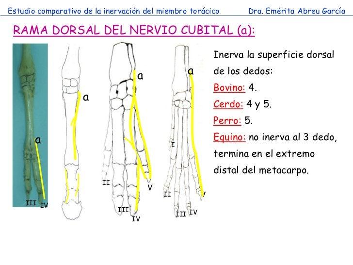 Estudio comparativo de la inervación del miembro torácico                 Dra. Emérita Abreu García RAMA DORSAL DEL NERVIO...