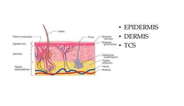 • EPIDERMIS • DERMIS • TCS