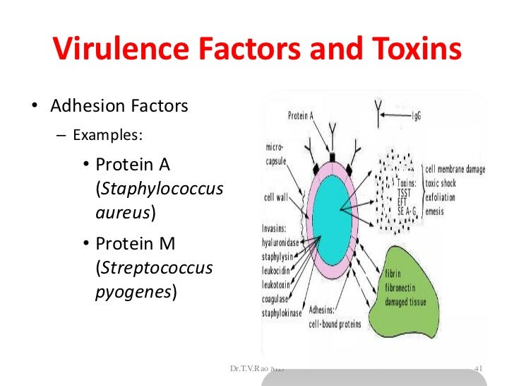 the virulence factors of staphylococcus aureus Identified virulence factors of staphylococcus : adherence the staphylococcus aureus collagen adhesin is a virulence determinant in experimental septic arthritis.