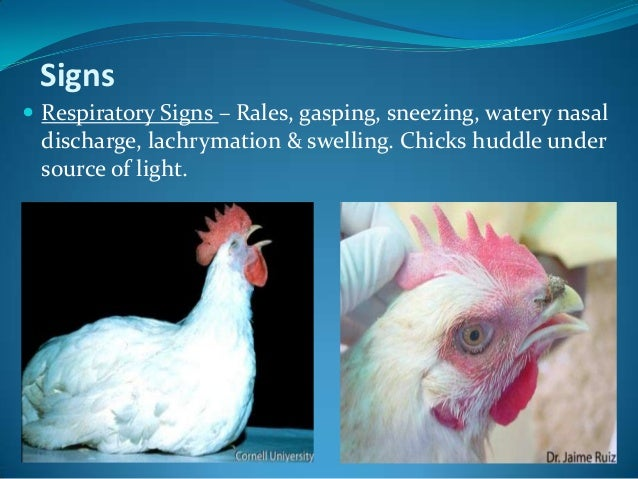 infectious bronchitis chickens Infectious bronchitis in chickens infectious bronchitis (ib) is an extremely contagious viral disease that affects chickens of all ages and types the causative organism is a single stranded rna virus of the family coronaviridae which predominantly affects chickens.