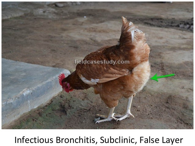 infectious bronchitis chickens Infectious bronchitis, viral respiratory disease, nephritis and uremia, broilers and layer industry, drastic drop in egg production, kidney lesions, family coronaviridae are the most.