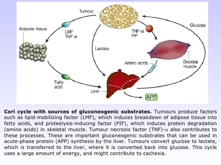 Cori cycle with sources of gluconeogenic substrates.  Tumours produce factors such as lipid-mobilizing factor (LMF), which...