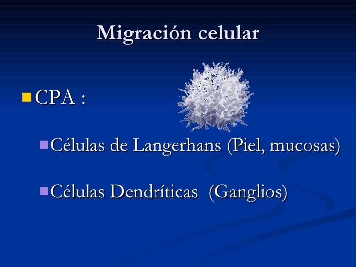 Migración celular <ul><li>CPA : </li></ul><ul><ul><li>Células de Langerhans (Piel, mucosas) </li></ul></ul><ul><ul><li>Cél...