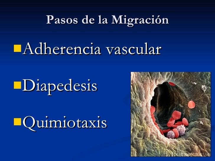 Pasos de la Migración <ul><li>Adherencia vascular </li></ul><ul><li>Diapedesis </li></ul><ul><li>Quimiotaxis </li></ul>
