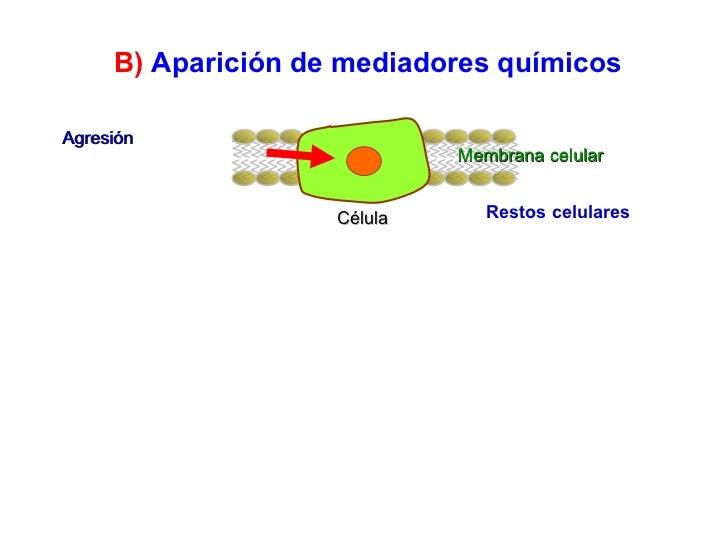 Agresión Célula Restos celulares Membrana celular B)   Aparición de mediadores químicos
