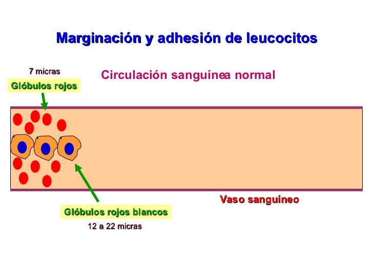 Vaso sanguíneo Marginación y adhesión de leucocitos Circulación sanguínea normal Glóbulos rojos Glóbulos rojos blancos 7 m...
