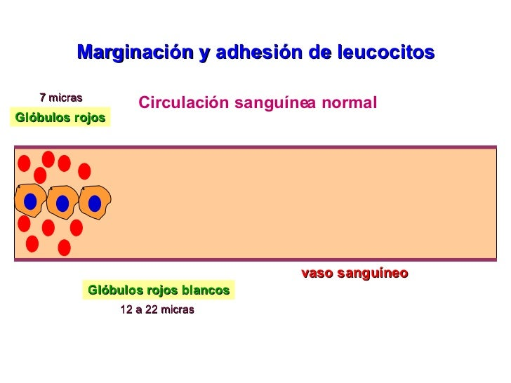 vaso sanguíneo Circulación sanguínea normal Glóbulos rojos Glóbulos rojos blancos 7 micras 12 a 22 micras Marginación y ad...
