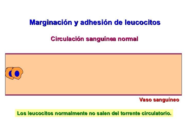 Vaso sanguíneo Circulación sanguínea normal Los leucocitos normalmente no salen del torrente circulatorio. Marginación y a...