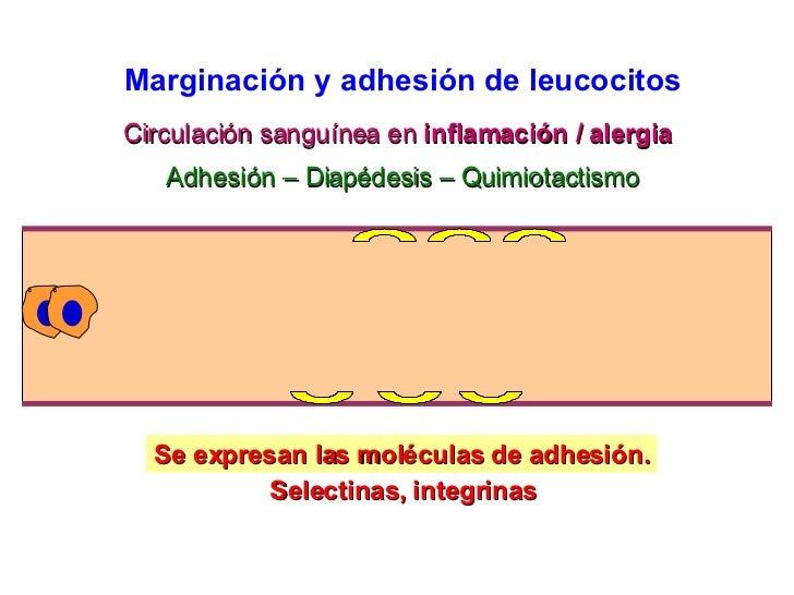 Circulación sanguínea en  inflamación / alergia Se expresan las moléculas de adhesión. Adhesión – Diapédesis – Quimiotacti...