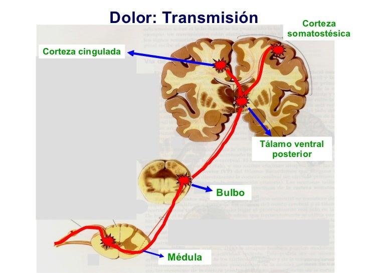 Dolor: Transmisión Corteza cingulada Médula Bulbo Tálamo ventral posterior Corteza somatostésica