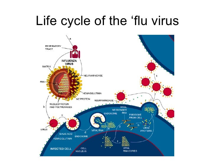 life cycle of a virus Most plant viruses have a similar life cycle, as shown in the diagram below viruses with this life cycle include: mosaic viruses and potato leaf curl virus.