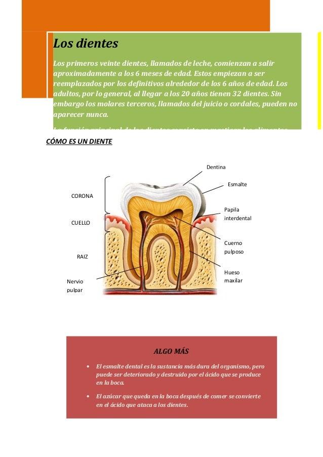 Los dientes Los primeros veinte dientes, llamados de leche, comienzan a salir aproximadamente a los 6 meses de edad. Estos...