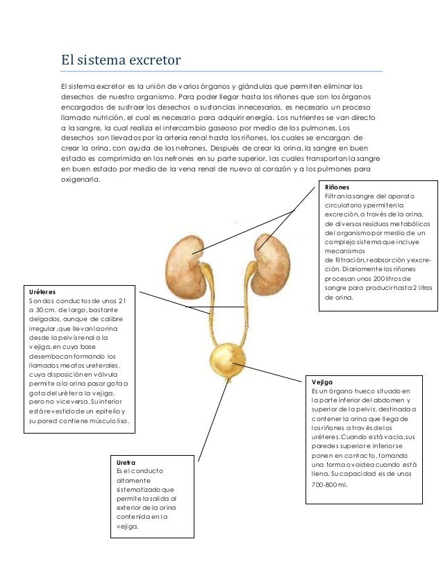 Infografía 3 el sistema excretor