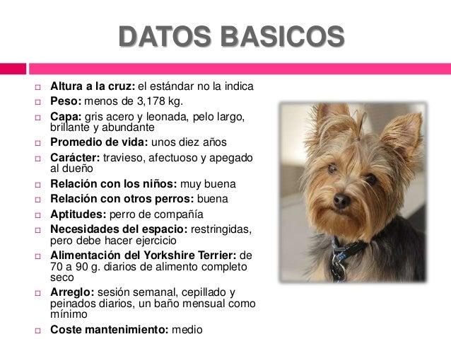Información básica de la raza yorkshire terrier Slide 2