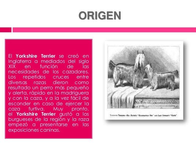 Información básica de la raza yorkshire terrier Slide 3