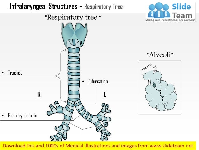 Infralaryngeal Structures Respiratory Tree Medical Images For Power P