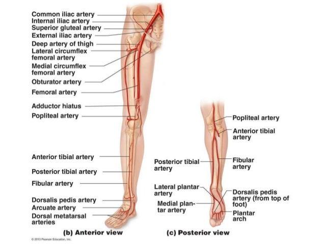 Popliteal vein anatomy