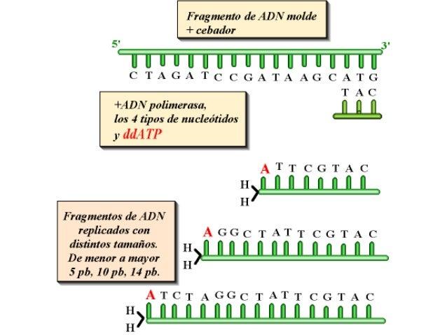 AÑADIMOS           •ADN polimerasa           •NUCLEÓTIDOS           •un didesoxi, por ejemplo, ddCMP           •La síntesi...