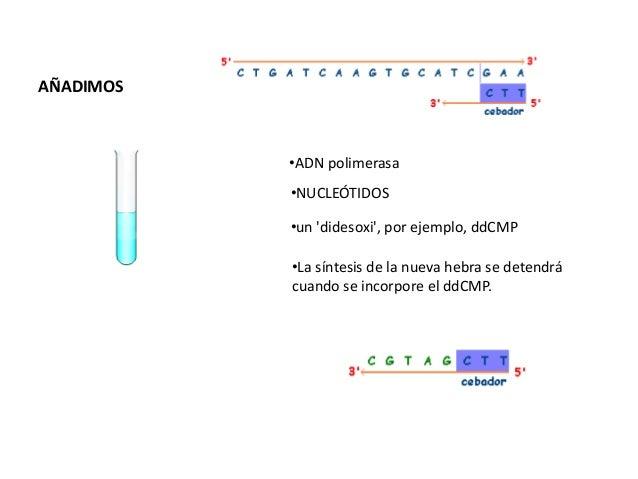 • Ingeniería genética• http://www.mhhe.com/sem/Spanish_Animati  ons/sp_genetic_engineering.swf• Clonación de un gen• http:...