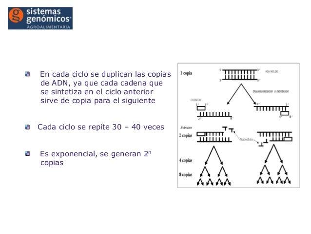Introducción a la PCR®En cada ciclo se duplican las copiasde ADN, ya que cada cadena quese sintetiza en el ciclo anteriors...